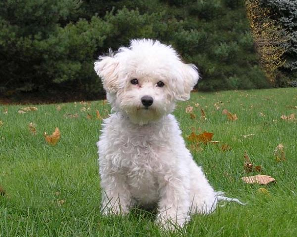 Scratch Dog or Not – Are Bichon Frise Dogs Hypoallergenic