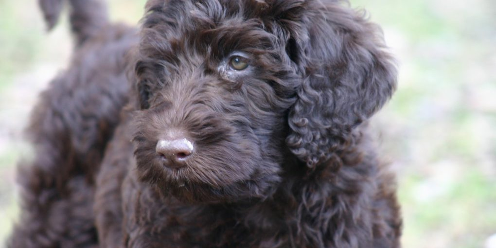 Scratch Dog Or Not Are Labradoodles Hypoallergenic