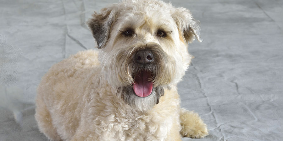 Scratch Dog Or Not Are Soft Coated Wheaten Terriers Hypoallergenic Hypoallergenic Paws The Home Of Dogs That Don T Shed